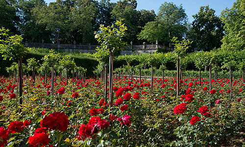 Picture: Roses in the Court Garden